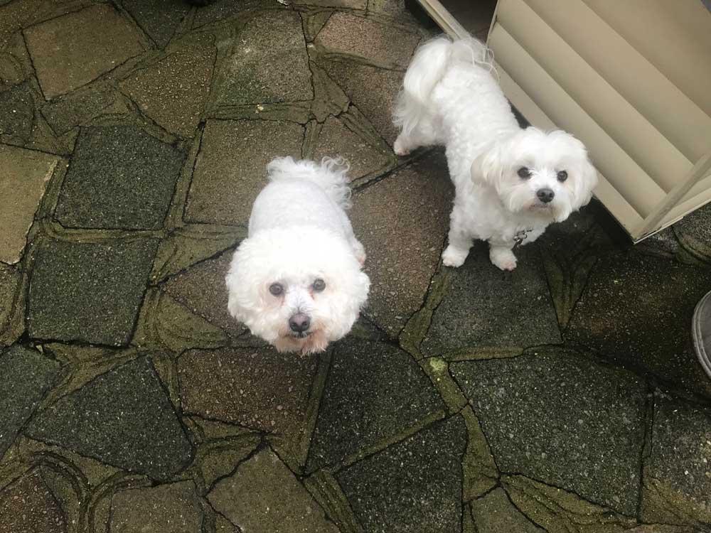 white-dogsx2